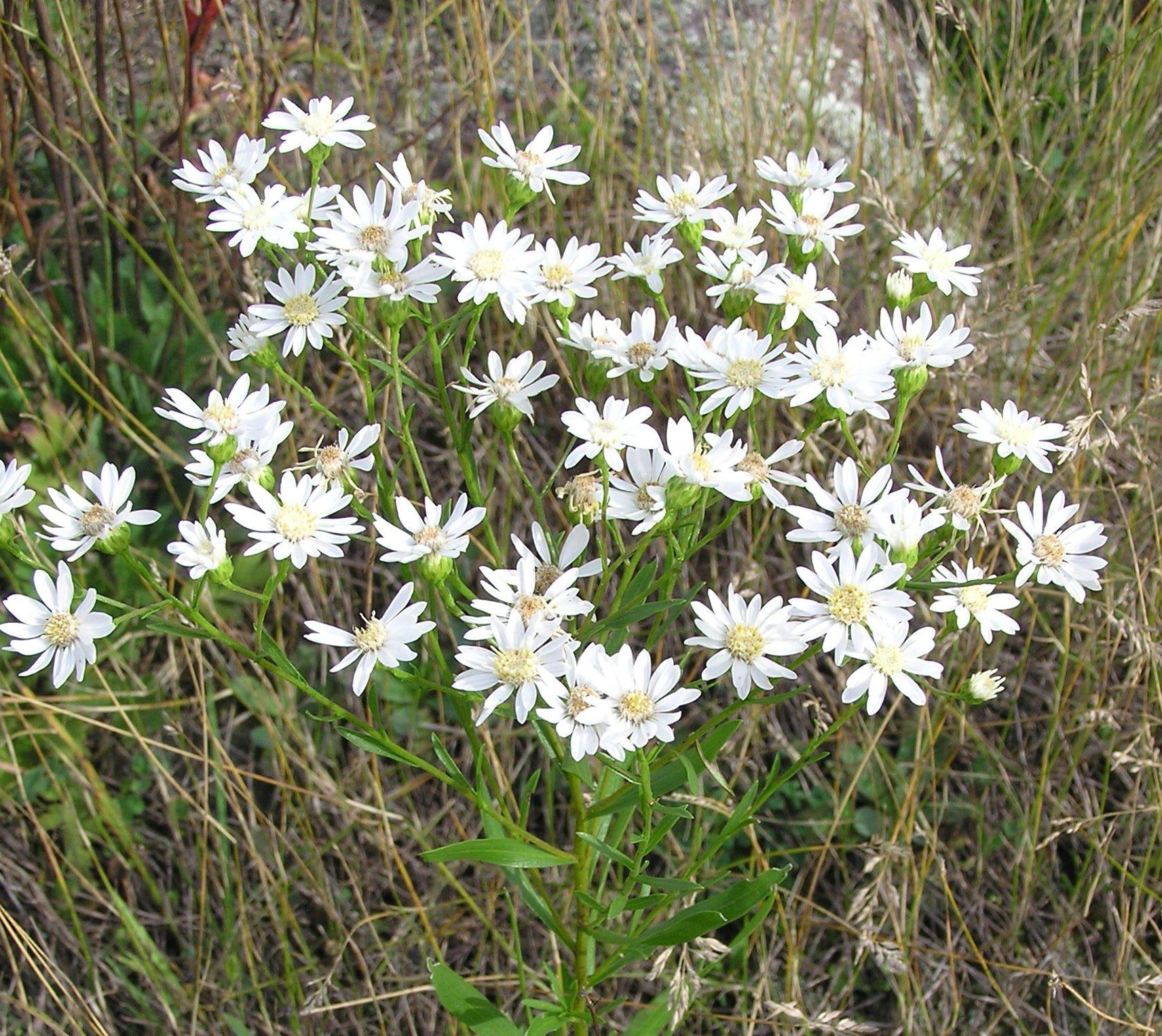 Upland White Goldenrod